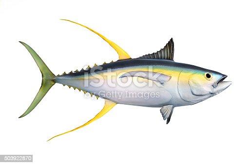 istock The Yellow Fin Tuna. 503922870