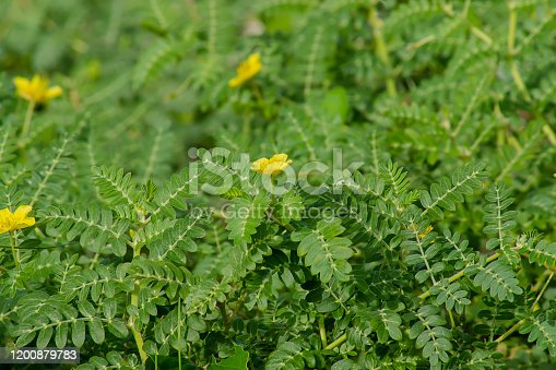 The yellow flower of devil's thorn (Tribulus terrestris plant) with leaf background