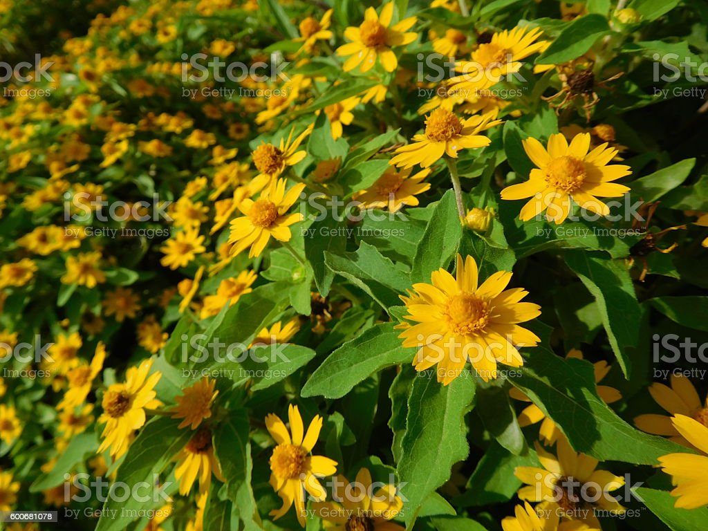 The yellow flowers of arnica in summer stock photo