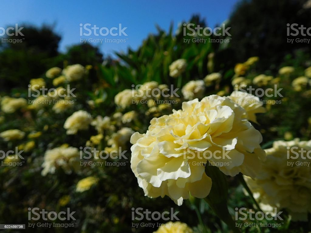 The yellow flowers of carnation under the blue sky stock photo