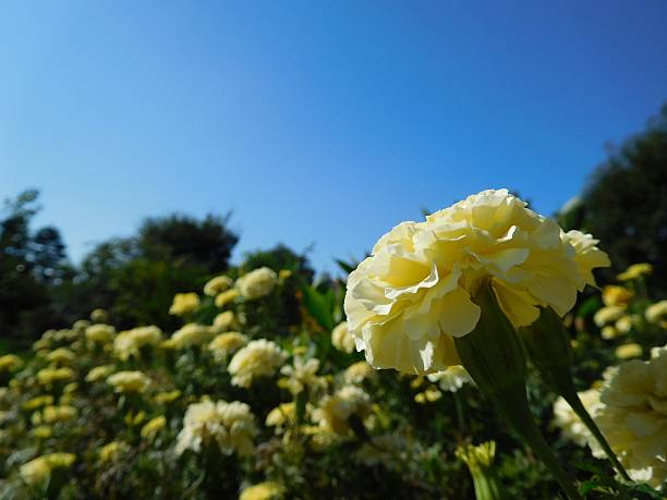 The yellow flowers of carnation under the blue sky – Foto
