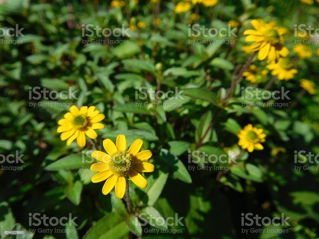 The yellow flowers of daisy in the garden stock photo