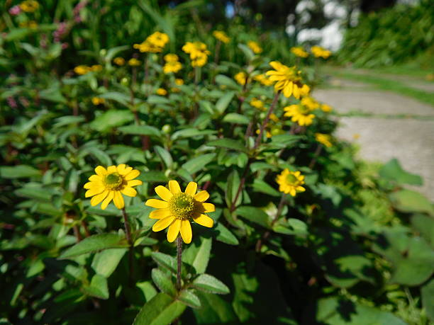 The yellow flowers of daisy in the garden – Foto