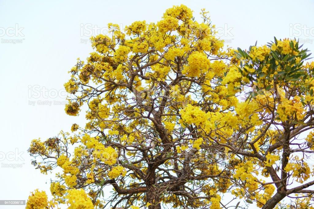 The yellow flowertabebuia argentea britt or silver trumpet flower the yellow flowertabebuia argentea britt or silver trumpet flower tree of gold or mightylinksfo