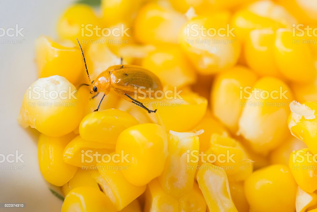 the yellow ladybug in the stack of corn stock photo
