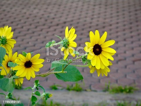 Flower and Plant, Yellow Tithonia Diversifolia, Tree Marigold, Mexican Tournesol, Mexican Sunflower, Japanese Sunflower or Nitobe Chrysanthemum Blooming in A Garden.