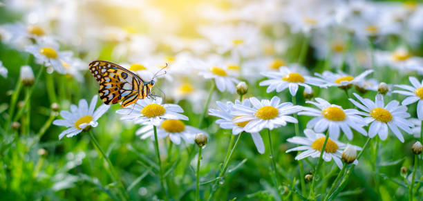 The yellow orange butterfly is on the white pink flowers in the green picture id1096812448?b=1&k=6&m=1096812448&s=612x612&w=0&h=3crexk2nokyot9ot028mguy6lz hktbed7jm60g hya=