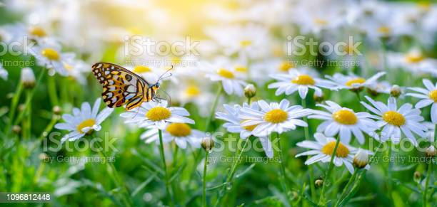 Photo of The yellow orange butterfly is on the white pink flowers in the green grass fields