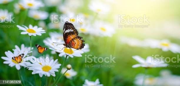 The yellow orange butterfly is on the white pink flowers in the green picture id1141352329?b=1&k=6&m=1141352329&s=612x612&h=5x3iktuvio8iacsrdjd0qg 9f83uz he46tq2wesp1o=