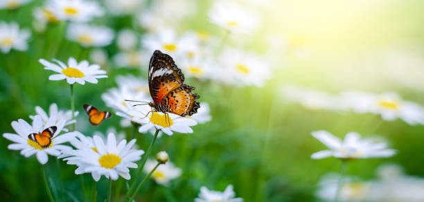 The yellow orange butterfly is on the white pink flowers in the green picture id1141352329?b=1&k=6&m=1141352329&s=612x612&w=0&h=vbtbfurhkmzkv7nzgwto hir1wfpamcpxcoz4aec2rw=