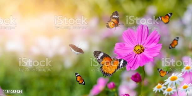 The yellow orange butterfly is on the white pink flowers in the green picture id1184033434?b=1&k=6&m=1184033434&s=612x612&h=yexqqjppmfc9a uxdgaxpjdbn7lukj71lfdxxfjeiti=
