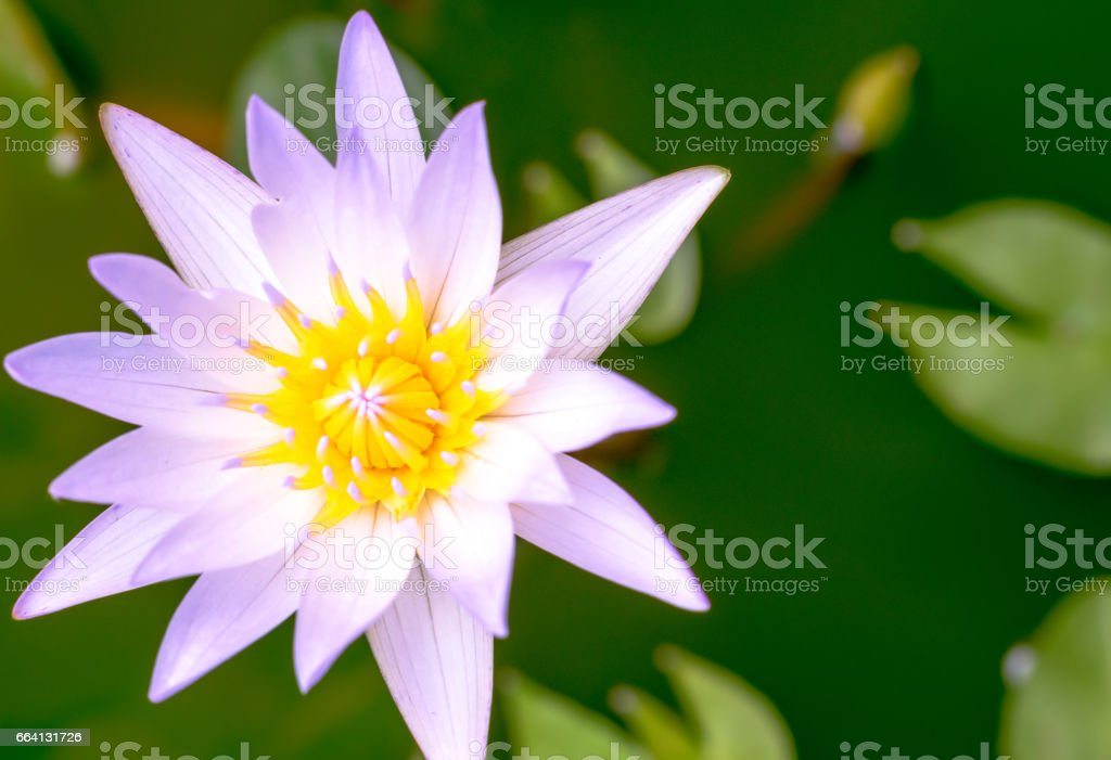 the yellow pollen of lotus flower in pool water. copy space for design foto stock royalty-free