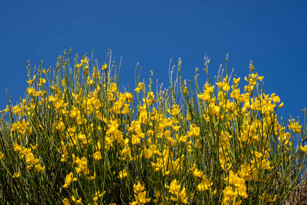 The yellow spartium junceum plant stock photo