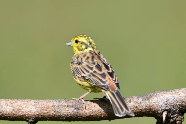 The yellowhammer sits on a branch and observes the surroundings on a sunny day stock photo