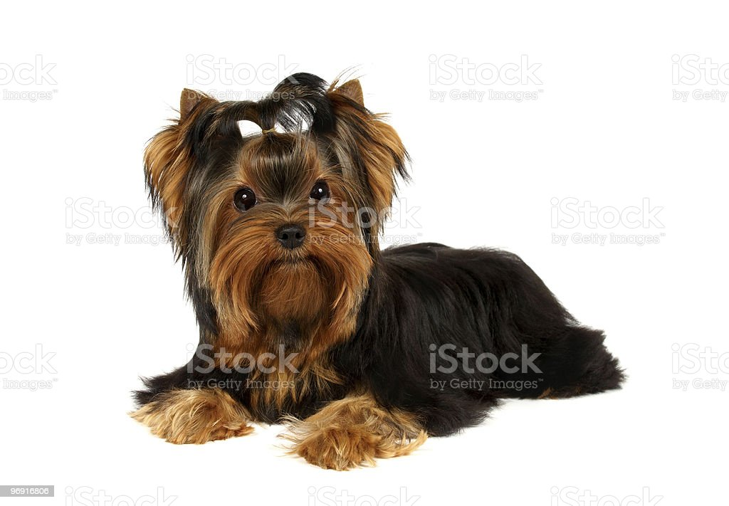 The Yorkshire Terrier royalty-free stock photo