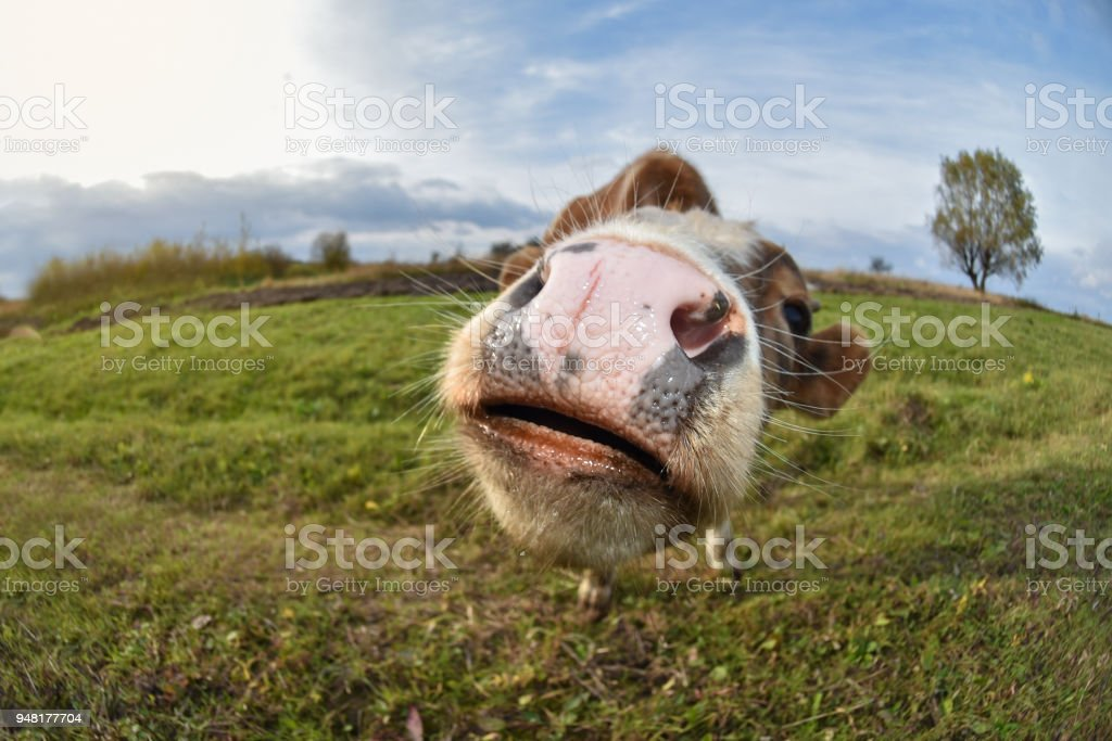 The young bull is smiling on the pasture, close up. Beautiful landscape and sunset stock photo