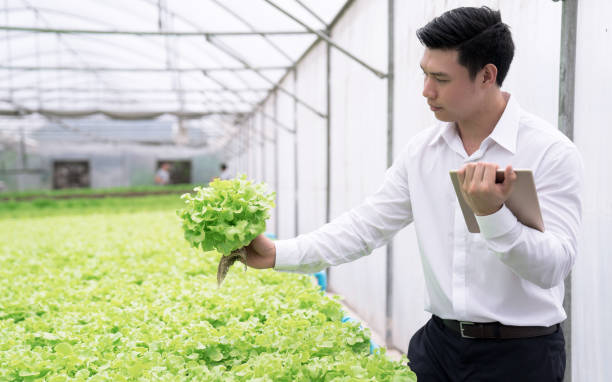 The young business owner checks the quality of the vegetables on the farm, Hydroponic vegetable, Organic food business concept. The young business owner checks the quality of the vegetables on the farm, Hydroponic vegetable, Organic food business concept. hydroponics planting stock pictures, royalty-free photos & images