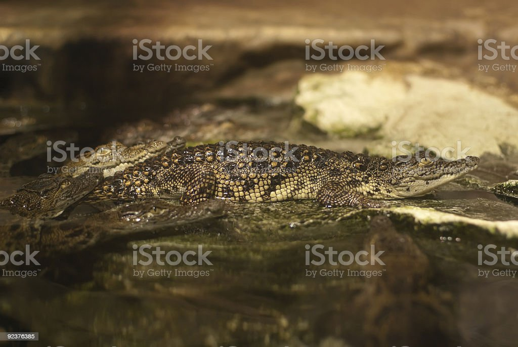 The young Caiman royalty-free stock photo