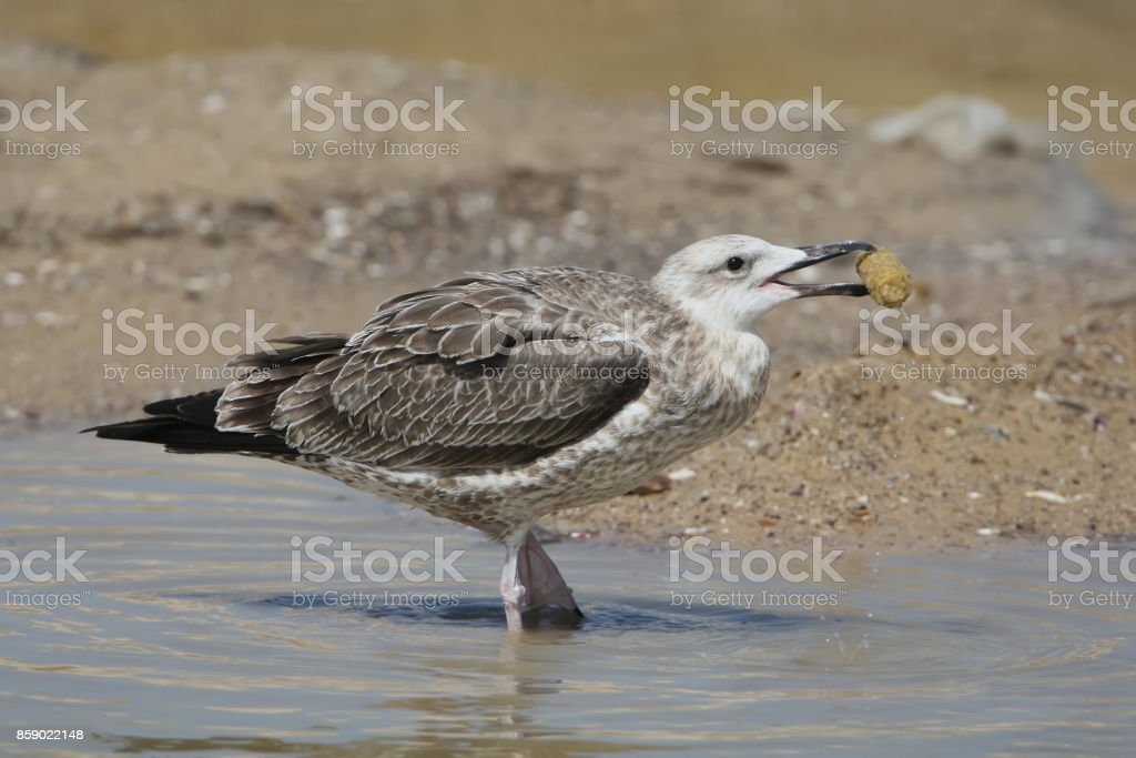 The young Caspian gull (taxon Larus cachinnans) with corn stock photo