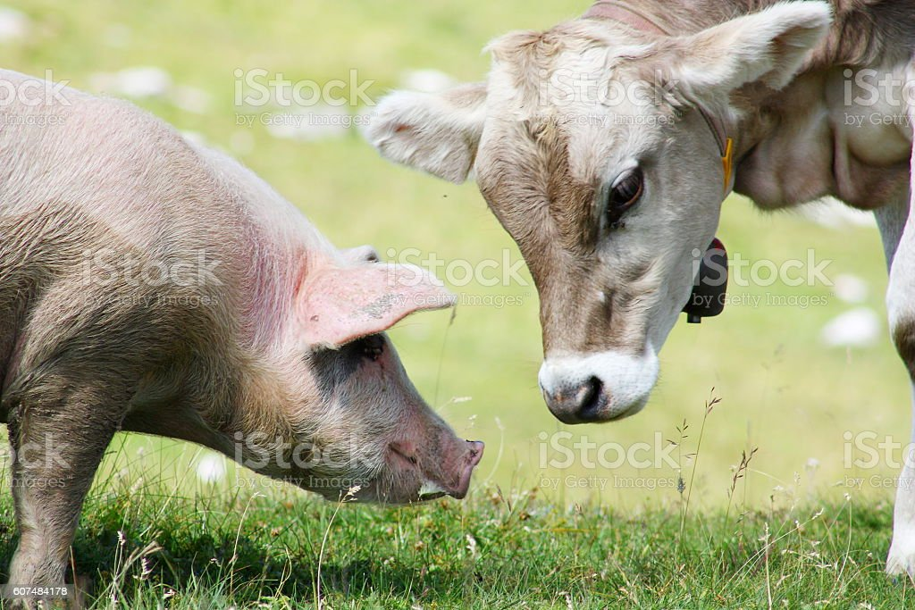 The young cow and the pig stock photo
