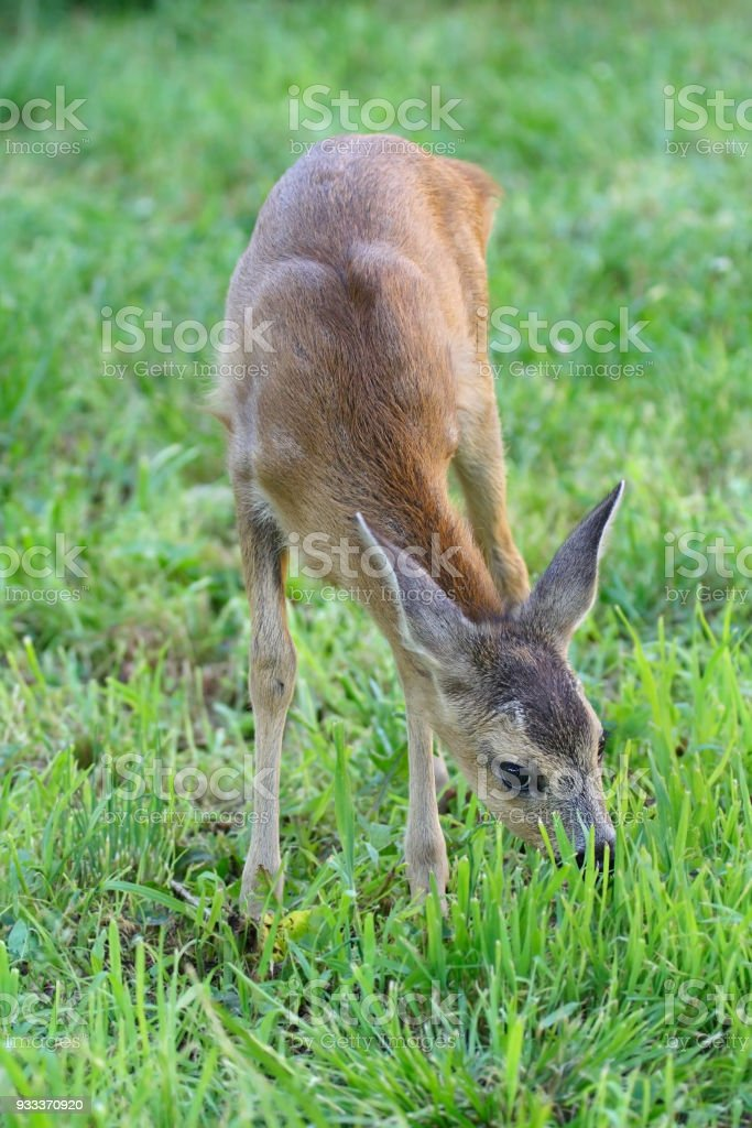 The young roe nibbles a grass on a lawn stock photo