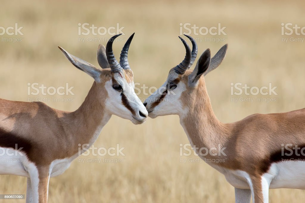The young springbok males practice sparring for dominance in short grass stock photo