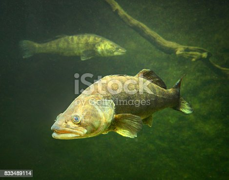 istock The Zander or Pike-perch - Sander lucioperca. 833489114