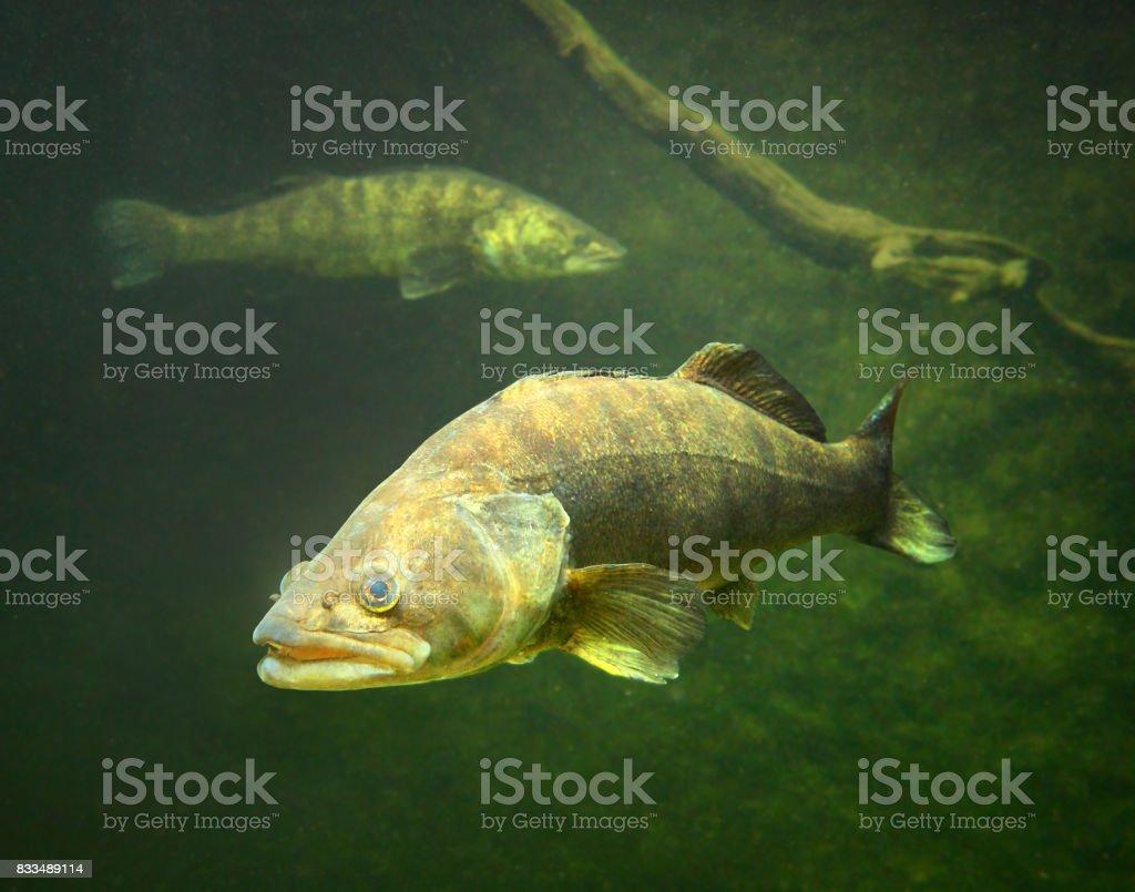 O Zander ou Pike percas - Sander lucioperca. - foto de acervo