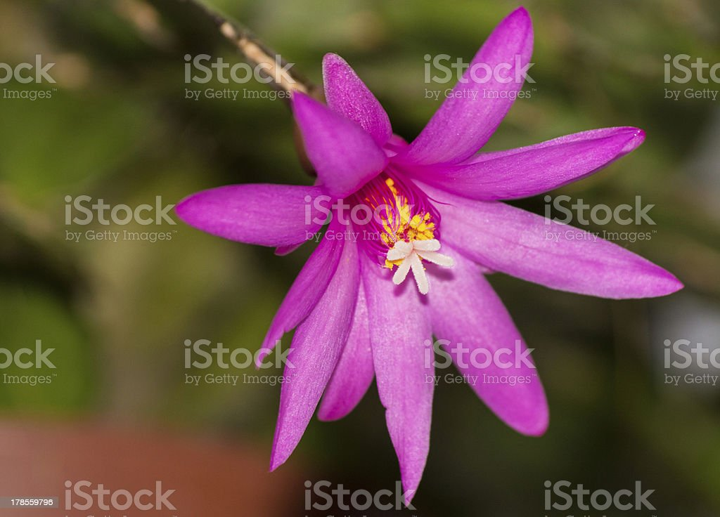 The Zygocactus blossomed stock photo