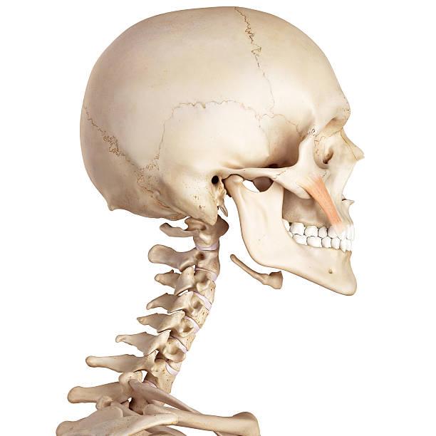 Músculo Cigomático Mayor - Stock Fotos e Imágenes - iStock