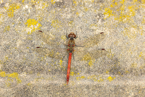 Male common darter(Sympetrum striolatum) resting on an old stonewall.
