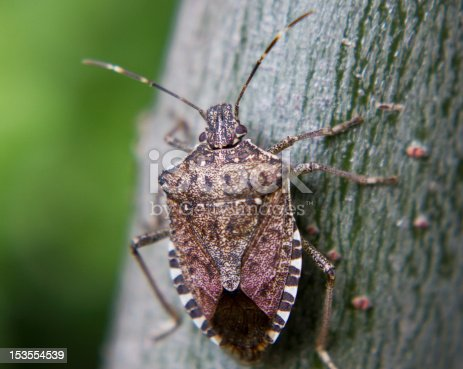 Brown Marmorated Stink Bugs will be back with a vengeance this fall, entering homes and buildings through cracks under windows, baseboards and sliding glass doors. This is an extreme close-up just prior to it slipping indoors.