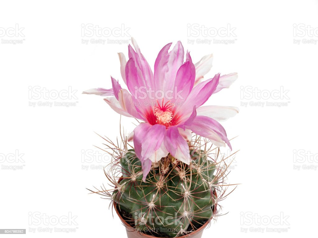 Thelocactus wagnerianus blooms in pink, isolated stock photo