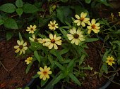 thenarrowleaf zinnia (Zinnia angustifolia) flower in the garden
