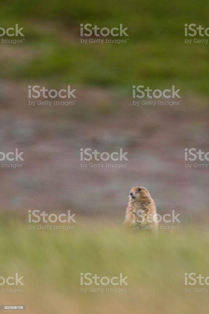 Theodore Roosevelt National Park Prairie Dogs stock photo