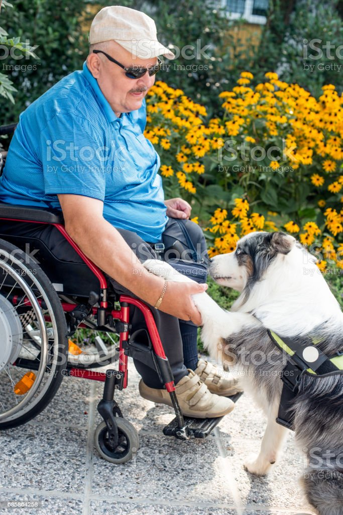 Therapy Dog Helping  Disabled Senior Man On Wheelchair stock photo