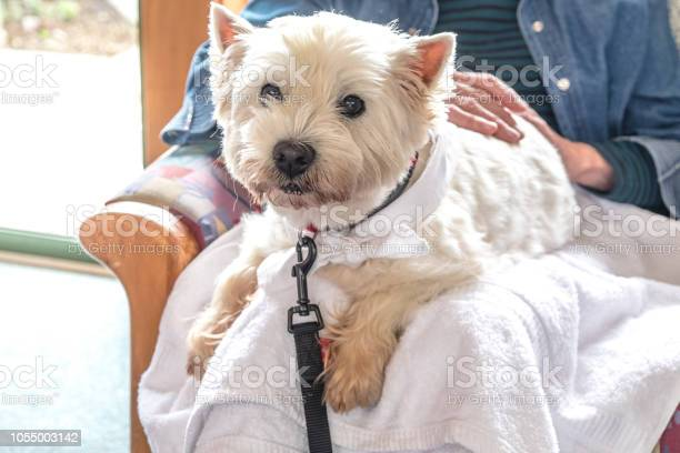 Therapy pet dog visiting retirement care home westie is on lap of picture id1055003142?b=1&k=6&m=1055003142&s=612x612&h=rkxuoxccv7mttoi kpiesws28ce8 ng5scbadxclhoc=