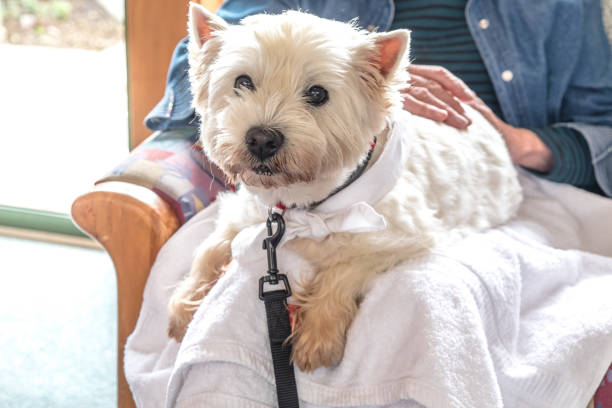Therapy pet dog visiting retirement care home - westie is on lap of elderly senior person stock photo