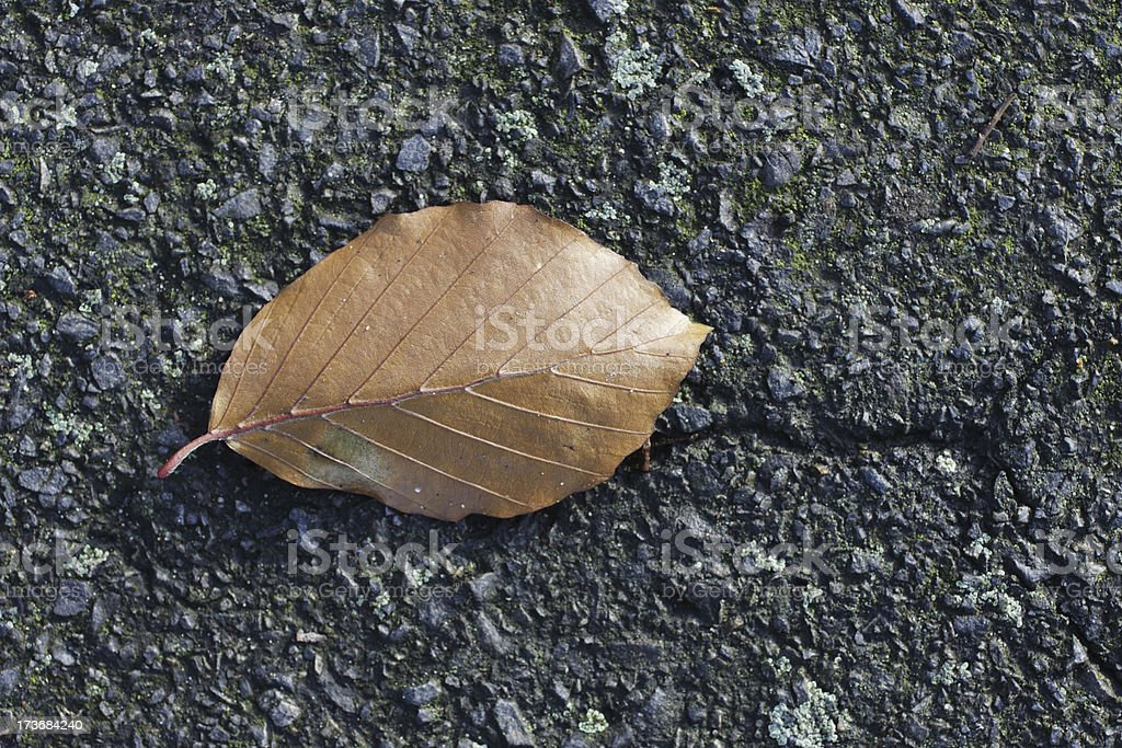 Fallen leaf of copper beech tree Fagus sylvatica variety royalty-free stock photo