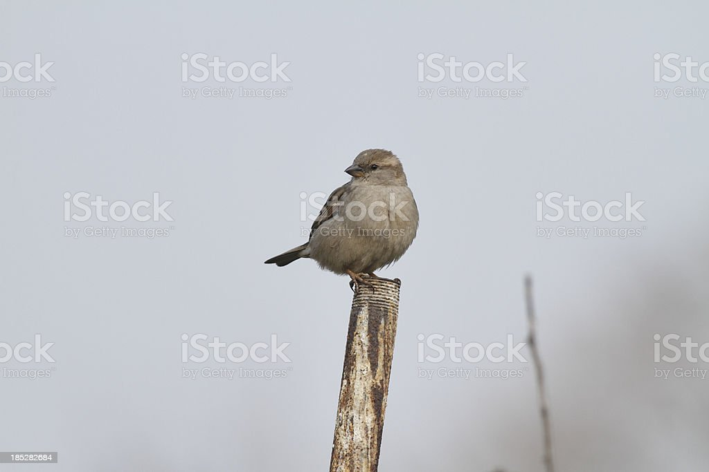 House sparrow female Passer domesticus isolated royalty-free stock photo
