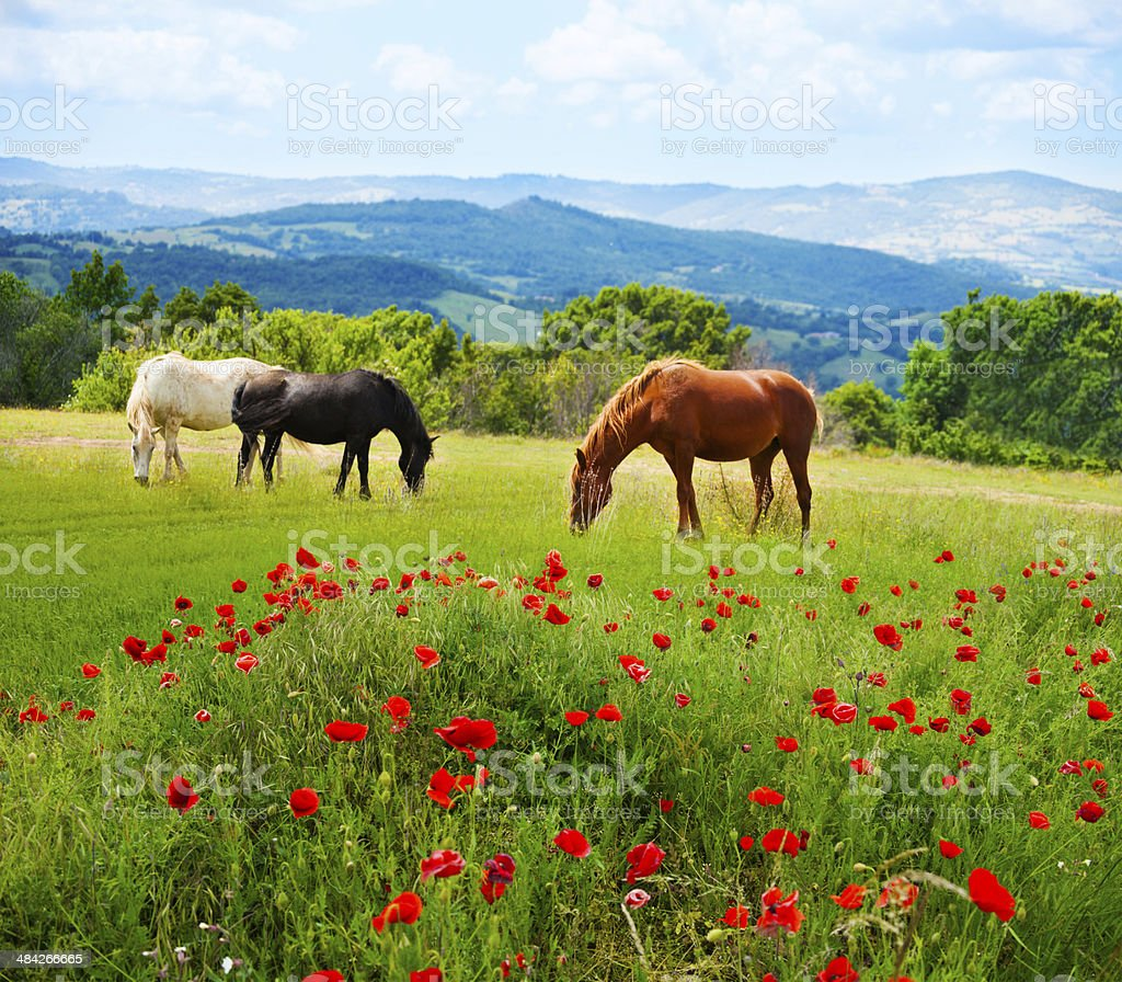 There horses grazing grass stock photo