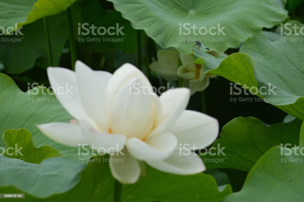 There Is A Dragonfly In The Back Of The White Lotus Flower Stock