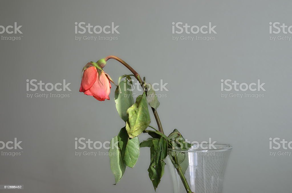 There is a faded rose in the vase stock photo