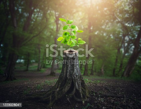 Young tree emerging from old cut down tree stump