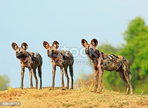 Scenic view of wild dogs (Lycaon Pictus) - Painted Dogs standing on topof a sandbank surveying the area after a recent Kill, with a bright blue clear sky background. South Luangwa National Park, Zambia