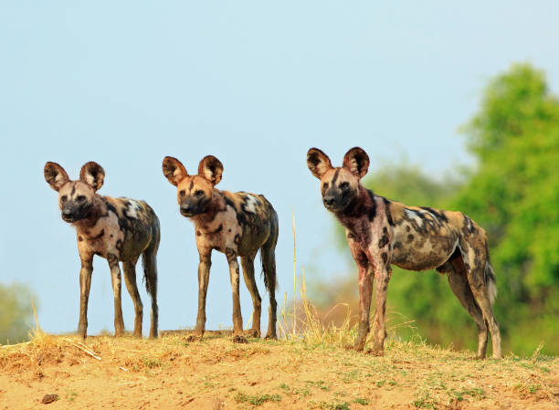 there wild dogs standing and looking alert against a natural blue sky and bush background in south lunagwa national park, zambia - cão selvagem imagens e fotografias de stock