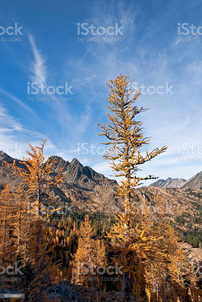 Larch Tree With Fall Colors - Royalty-free Alpine Lakes Wilderness Stock Photo