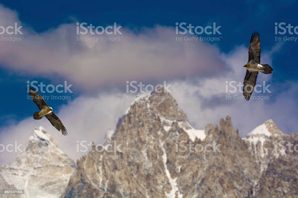 Thermal Gliding Bearded vultures (lammergeier) stock photo