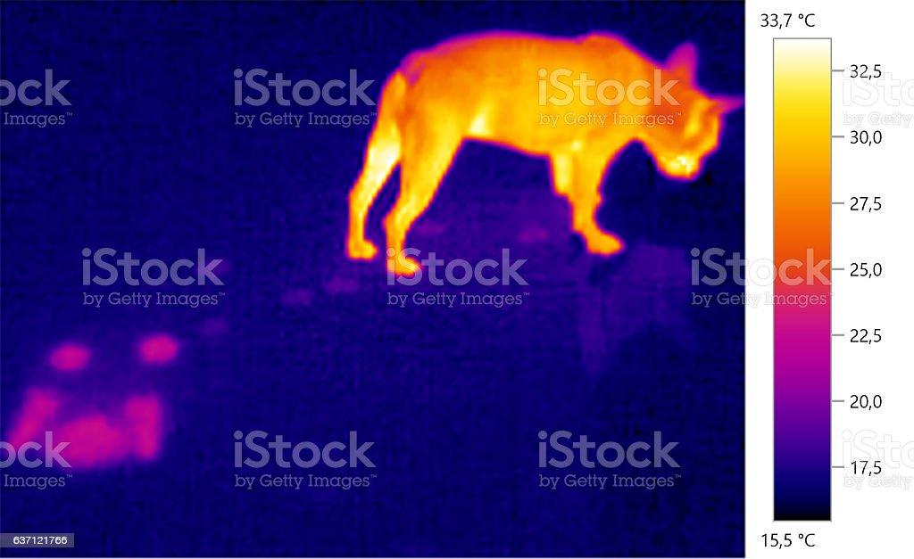 Thermal image photo, french bulldog, dog, stock photo