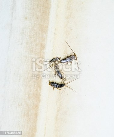 istock Thermobia domestica. Pest books and newspapers. Lepismatidae Insect feeding on paper - silverfish 1170355136